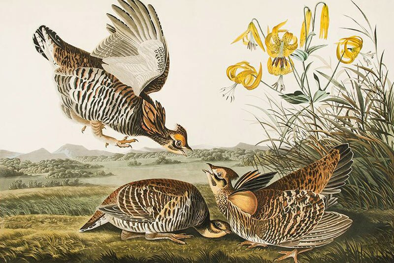 acquatint-grouse-john-james-audubon.jpg